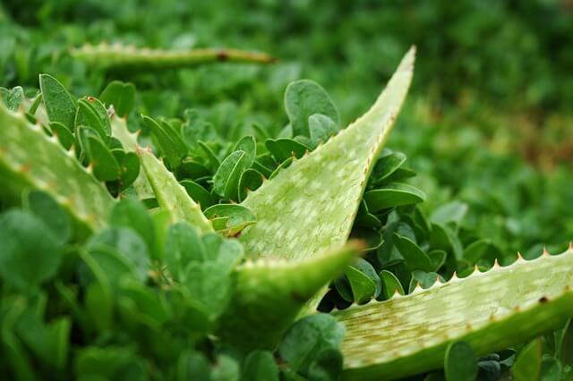 Bujne liście aloesu wśród zieleni