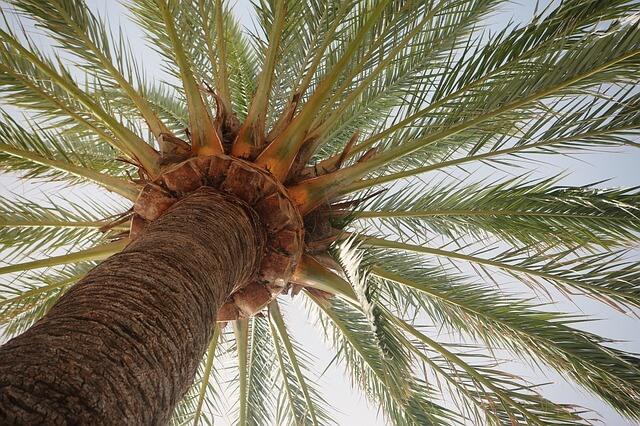 Palma kokosowa o rozłożystych liściach